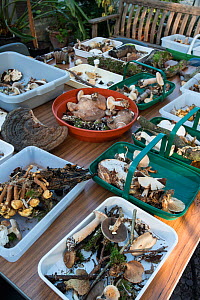 Fungi collected during 'Autumn fungus foray', Snowdonia, North Wales, October.  -  Adrian Davies