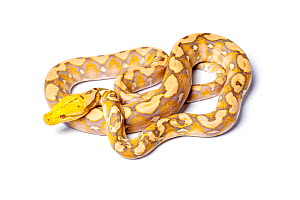 Reticulated python (Python reticulatus) 'lavender' form, on white background, occurs in South East Asia  -  Chris  Mattison