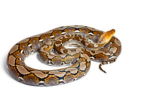 Reticulated python (Python reticulatus) on white background, occurs in South East Asia  -  Chris  Mattison
