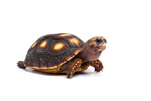 Red-footed tortoise (Chelonoidis carbonaria) hatchling on white background, occurs in South America  -  Chris  Mattison