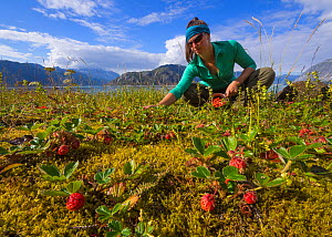 Hiker collecting wild strawberries (Fragaria) near camp on a small island in Glacier Bay National Park, Alaska, USA, August 2014. Model released. - Floris  van Breugel