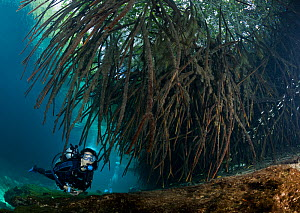 Scuba diver, swimming under the roots of mangrove trees, with shoal of fish (Poecilia), Casa Cenote, Riviera Maya, Yucatan Peninsula, Mexico. Model released.  -  Brandon Cole