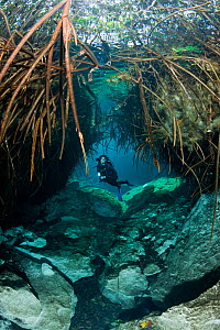 Scuba diver swimming between mangrove roots, Casa Cenote, Riviera Maya, Yucatan Peninsula, Mexico. Model released.  -  Brandon Cole