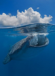 Whale shark (Rhincodon typus) near the surface feeding on fish eggs, Gulf of Mexico, Mexico, Caribbean Sea.  -  Brandon Cole