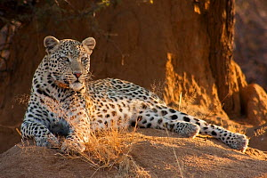 Leopard (Panthera pardus) resting,  Erindi Game Reserve, Namibia. - Hugh Pearson