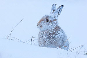 Mountain hare (Lepus timidus) in heavy snowfall, Cairngorms National Park, Scotland. January. - Alex  Hyde