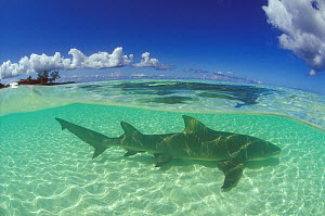 Sicklefin lemon shark (Negaprion acutidens)  in the lagoon of Picard Island, Aldabra, Seychelles, Indian Ocean. - Pascal Kobeh