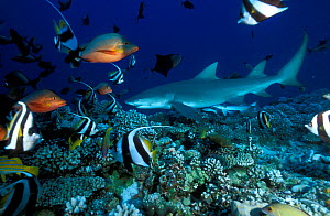 Sicklefin lemon shark (Negaprion acutidens) surrounded by fish on coral reef, Moorea Island, Society Islands, French Polynesia, Pacific Ocean. - Pascal Kobeh