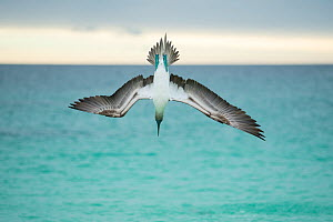Blue-footed booby (Sula nebouxii) plunge-diving at high speed, San Cristobal Island, Galapagos, Ecuador.  -  Tui De Roy