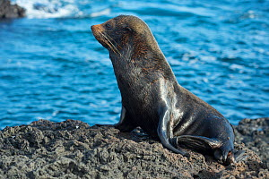 Galapagos fur seal (Arctocephalus galapagoensis) on rocky shore, Galapagos, Ecuador. Endangered species.  -  Tui De Roy