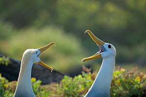 Waved albatross (Phoebastria irrorata) pair in courtship display, Galapagos, Ecuador. Critically Endangered species.  -  Tui De Roy