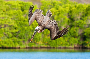 Brown pelican (Pelecanus occidentalis) diving in flight, Galapagos  -  Tui De Roy