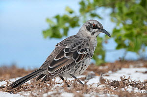 Espanola mockingbird (Mimus macdonaldi) on beach, Galapagos  -  Tui De Roy