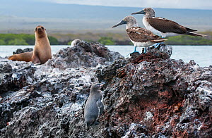 Galapagos penguin (Spheniscus mendiculus) with Blue-footed booby (Sula nebouxii) and Galapagos sea lion (Zalophus wollebaecki), Galapagos - Tui De Roy