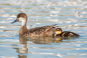 White cheeked pintail duck (Anas bahamensis) female with chick, Galapagos  -  Tui De Roy