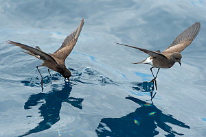 White-vented storm petrels (Oceanites gracilis galapagoensis) 'walking' on surface of water whilst foraging, Galapagos  -  Tui De Roy