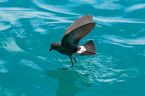 White-vented storm petrel (Oceanites gracilis galapagoensis) 'walking' on surface of water whilst foraging, Galapagos  -  Tui De Roy