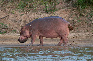 Hippopotamus (Hippopotamus amphibius) defecating and urinating, fanning its tail to distribute the waste over a wide area, Selous Game Reserve, Tanzania. - Charlie  Summers