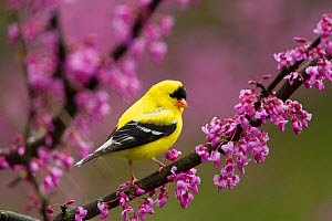 American goldfinch (Carduelis tristis) male in breeding plumage, perched in Eastern redbud flowers in spring, New York, USA May.  -  Marie  Read