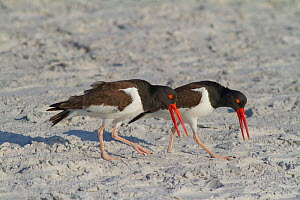 American oystercatchers (Haematopus palliatus) courting pair performing 'Piping Display', calling as they walk along together, Fort DeSoto Park, Florida, USA, March  -  Marie  Read