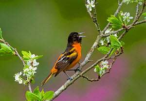 Baltimore oriole (Icterus galbula) male singing in spring, perched on Pear blossom  (Pyrus sp.) flowers, New York, USA May. - Marie  Read