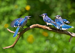 Blue jays (Cyanocitta cristata) two fledglings beg by fluttering wings at adult  (center bird), New York, USA. - Marie  Read