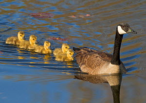 Canada goose (Branta canadensis) adult swimming leading five goslings, Ithaca, New York, USA.  -  Marie  Read