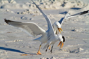 Herring gull (Larus argentatus) attacking and attempting to steal fish from Royal Tern  (Sterna maxima), Fort DeSoto Park, Florida, USA, March  -  Marie  Read