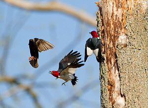 Red-headed woodpeckers (Melanerpes erythrocephalus), pair fighting with European Starling  (Sturnus vulgaris) that is trying to take over the woodpeckers' nest hole, Montezuma National Wildlife Refuge...  -  Marie  Read