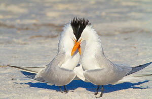 Royal terns (Sterna maxima) pair crossing bills during courtship behaviour, Fort DeSoto Park, Florida, USA - Marie  Read