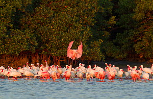 Roseate spoonbill (Ajaia ajaja) flying in to join mixed flock of Roseate Spoonbills and White Ibis  (Eudocimus albus) all in breeding plumage, at the edge of a mangrove island, Tampa Bay, Florida, USA...  -  Marie  Read