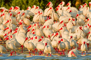 Flock of White ibis (Eudocimus albus) in breeding plumage, at rookery on water's edge of the mangrove-covered island, Tampa Bay, Florida, USA, March - Marie  Read