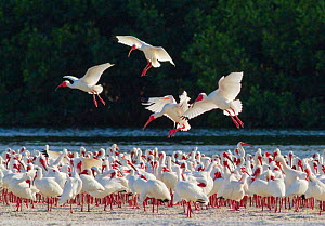 White ibis (Eudocimus albus) flock in breeding plumage, backlit against dark background, four individuals flying in to join flock, Tampa Bay, Florida, USA, March  -  Marie  Read