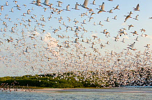 Huge flock of White ibis (Eudocimus albus) in breeding plumage, flying to their mangrove-covered island rookery, Tampa Bay, Florida, USA, March  -  Marie  Read
