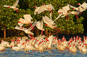 Flock of White ibis (Eudocimus albus) in breeding plumage, taking flight from rookery at edge of the mangrove-covered island, Tampa Bay, Florida, USA, March.  -  Marie  Read