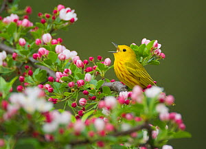 Yellow warbler (Setophaga petechia) male singing while perched on Crabapple  (Malus sp.) flowers in spring, New York, USA May.  -  Marie  Read