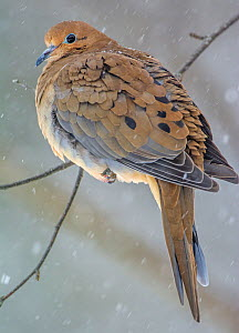 Mourning Dove (Zenaida macroura) perched on branch in snow, Acadia National Park, Maine, USA, February. - George  Sanker