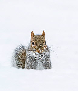 Eastern Gray Squirrel (Sciurus carolinensis) feeding in snow, Acadia National Park, Maine, USA, February. - George  Sanker