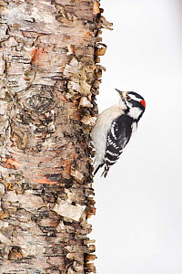 Downy Woodpecker (Picoides pubescens) on tree trunk in snow, Acadia National Park, Maine, USA, February. - George  Sanker