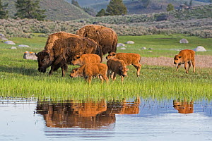 American Buffalo or Bison (Bison bison) group with calves, Yellowstone National Park, Wyoming, USA, May - George  Sanker