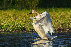 Trumpeter Swan (Cygnus buccinator) flapping wings, Grand Teton National Park, Wyoming, USA, May - George  Sanker