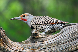 Northern Flicker (Colaptes auratus) perched, Grand Teton National Park, Wyoming, USA, June.  -  George  Sanker