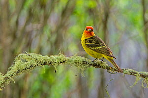 Western tanager (Piranga ludoviciana) perched,  Grand Teton National Park, Wyoming, USA, June. - George  Sanker