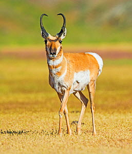 Pronghorn (Antilocapra americana) male, Yellowstone National Park, Wyoming, USA, June.  -  George  Sanker