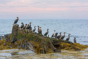 Double-crested Cormorant (Phalacrocorax auritus) group on rock, Acadia National Park, Maine, USA, September.  -  George  Sanker