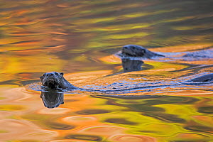 North American River Otter (Lontra canadensis) two swimming near the surface with autumn leaves reflected in water,  Acadia National Park, Maine, USA, October. - George  Sanker