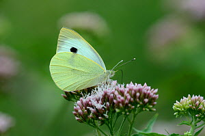 Large white butterfly (Pieris brassciae) on Hemp agrimony flower. Hampshire, UK, August.  -  Colin Varndell