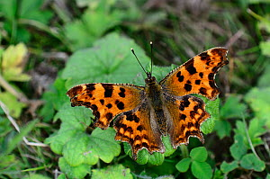 Comma butterfly (Polygonia c-album) at rest. Dorset, UK, July. - Colin Varndell