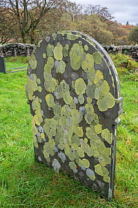 Map Lichen (Rhizocarpon geographicum) on grave stone,  Capel Curig,  Snowdonia, north Wales, October.  -  Adrian Davies