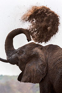 African elephant bull flinging dust over his  body with his trunk (Loxodonta africana), Chobe National Park, Botswana, Africa.  -  Ann  & Steve Toon